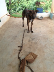 My dog with chain and wood attached