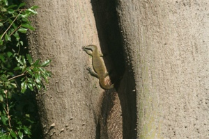 This lizzard lives in the little stream next to my house. He is about two meter and can make a lot of noise